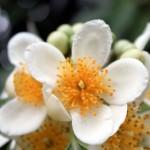 イジュの花③