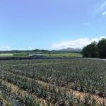嵐山展望台近くのパイナップル畑①