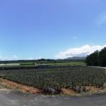 嵐山展望台近くのパイナップル畑③