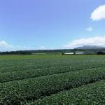 嵐山展望台近くの茶畑