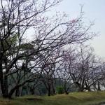 頂上手前のさくらの園付近①