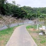 クメノ桜①