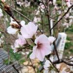 クメノ桜③