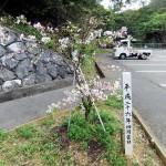 クメノ桜⑤
