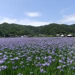 喜如嘉のオクラレルカ(2015年4月6日撮影)⑮