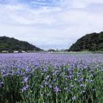 喜如嘉のオクラレルカ(2015年4月6日撮影)⑩