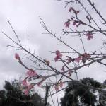 「名護城跡」付近の開花状況③(2016年1月26日)