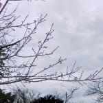 「名護城跡」付近の開花状況④(2016年1月26日)