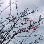 「名護城跡」付近の開花状況⑤(2016年1月26日)
