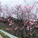 「天上展望台」付近の開花状況③(2016年1月26日)