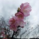 「天上展望台」付近の開花状況④(2016年1月26日)