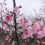 「天上展望台」付近の開花状況⑤(2016年1月26日)