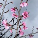 「名護城跡」付近の開花状況②(2016年2月2日)