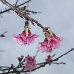 「名護城跡」付近の開花状況④(2016年2月2日)