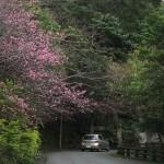 中腹の「ウーマク広場」付近の開花状況①(2016年2月2日)