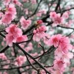 中腹の「ウーマク広場」付近の開花状況③(2016年2月2日)