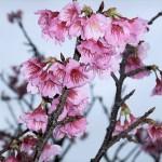 頂上の「天上展望台」付近の開花状況③(2016年2月2日)
