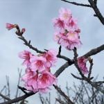 頂上の「天上展望台」付近の開花状況④(2016年2月2日)