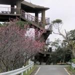 頂上の「天上展望台」付近の開花状況⑥(2016年2月2日)