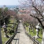 「名護城跡」付近の開花状況①(2016年2月9日)