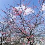 「名護城跡」付近の開花状況②(2016年2月9日)