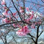 「名護城跡」付近の開花状況③(2016年2月9日)