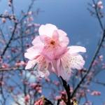 「名護城跡」付近の開花状況④(2016年2月9日)