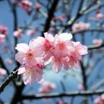 「名護城跡」付近の開花状況⑤(2016年2月9日)