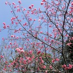 中腹の「ウーマク広場」付近の開花状況③(2016年2月9日)