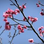 中腹の「ウーマク広場」付近の開花状況④(2016年2月9日)