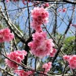 中腹の「ウーマク広場」付近の開花状況⑤(2016年2月9日)