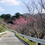 頂上の「天上展望台」付近の開花状況①(2016年2月9日)