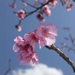 頂上の「天上展望台」付近の開花状況⑤(2016年2月9日)